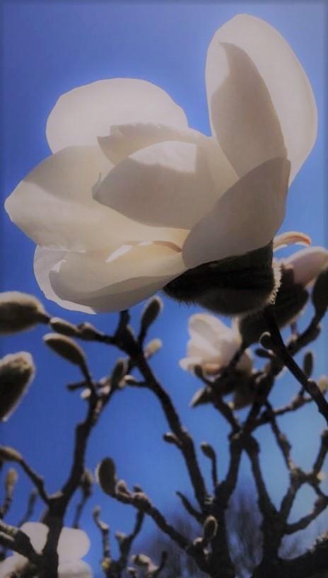 Blommande magnolia, Visby